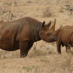 Black rhino's